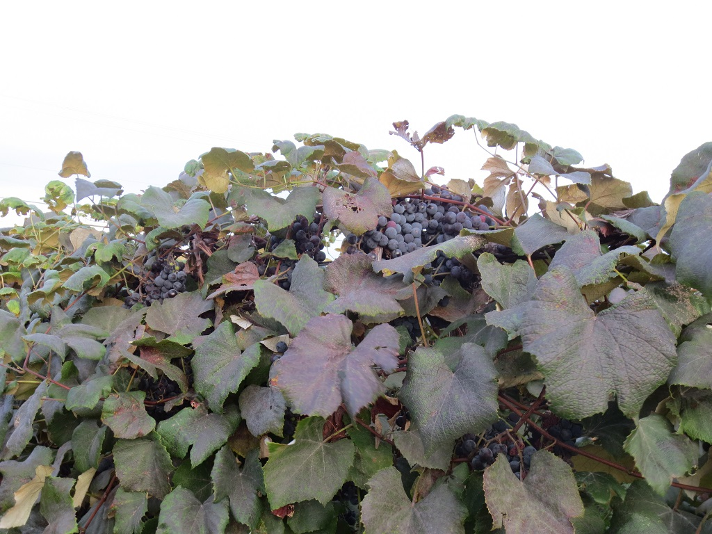 Delicious Concord grapes basking in the sun